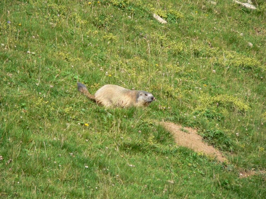 curieux de nature : observation des marmottes