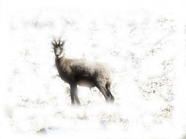 Randonnée dans le parc national des Écrins pour aller à la rencontre des chamois ou des bouquetins, animaux emblématiques des Alpes. Afin de découvrir la merveilleuse adaptation de ces animaux face à la rudesse de l'hiver.