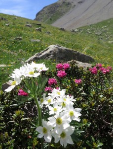 rhododendrons et anémones