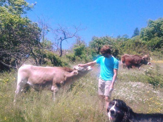 Veau et vache Brune des Alpes autour de la ferme de Pralong à Puy Saint Pierre en été. Un petit tour de VTT à Assistance électrique pour partir à leur découverte avec vite de la fromagerie et dégustation des délicieux fromages biologiques et d'un bon vin des Hautes- Alpes